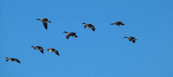 canadian geese blue 1